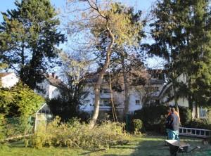 Hausgarten Fällung Kiefer